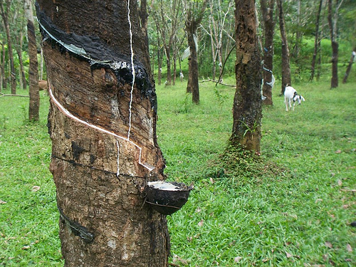 Exploring The Rubber Plantation